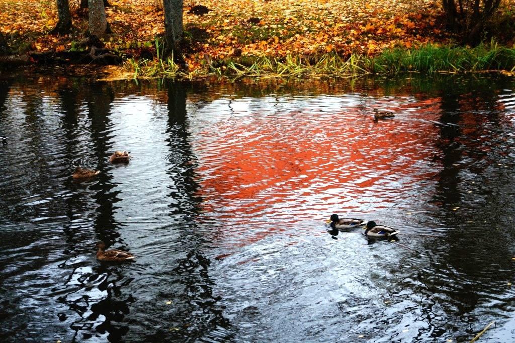 утки и пруд