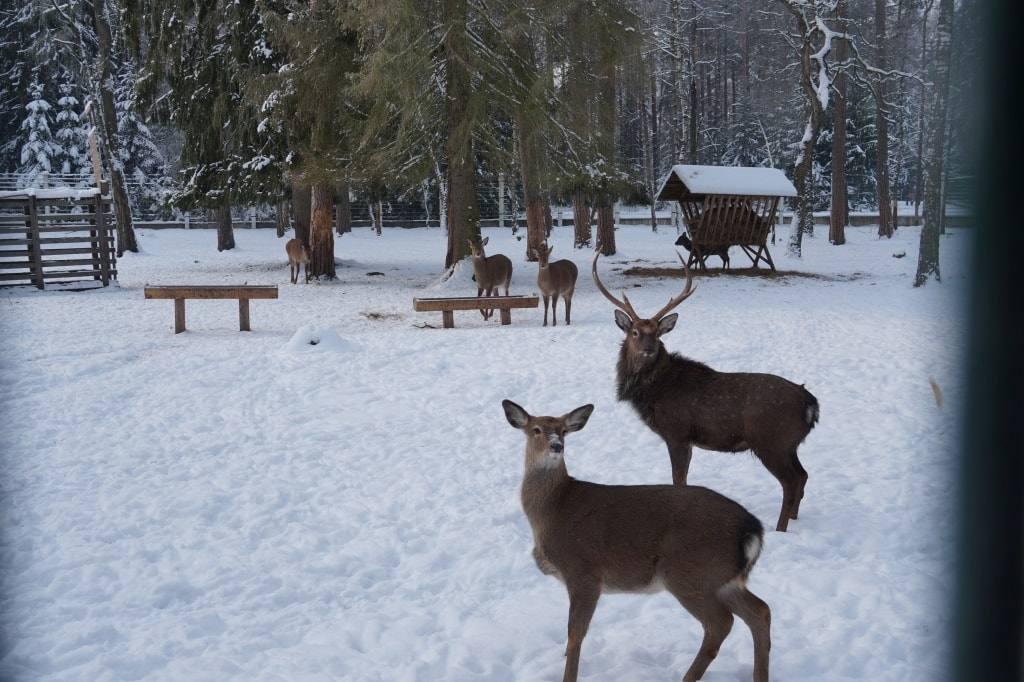 королевские олени Беларусь