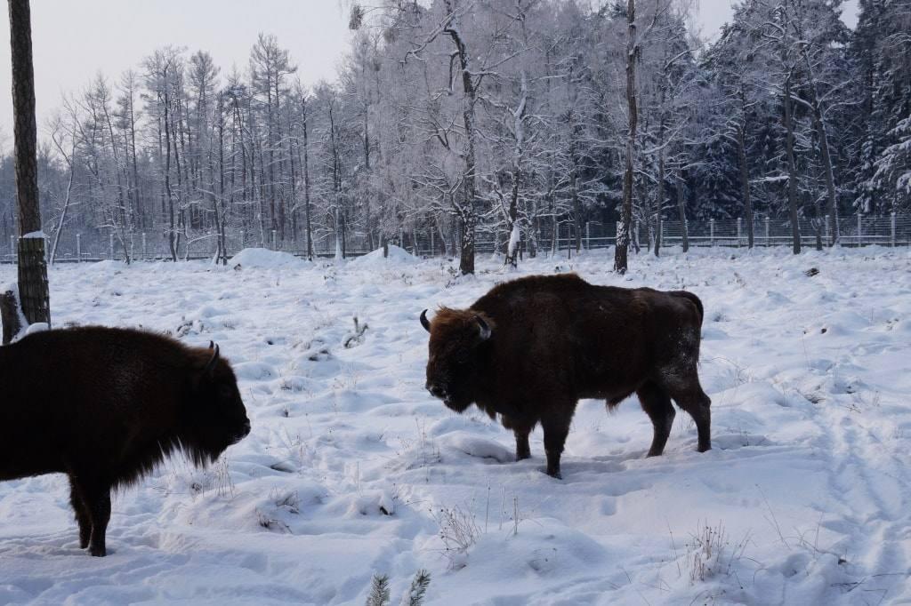 зубры в Беловежской пуще