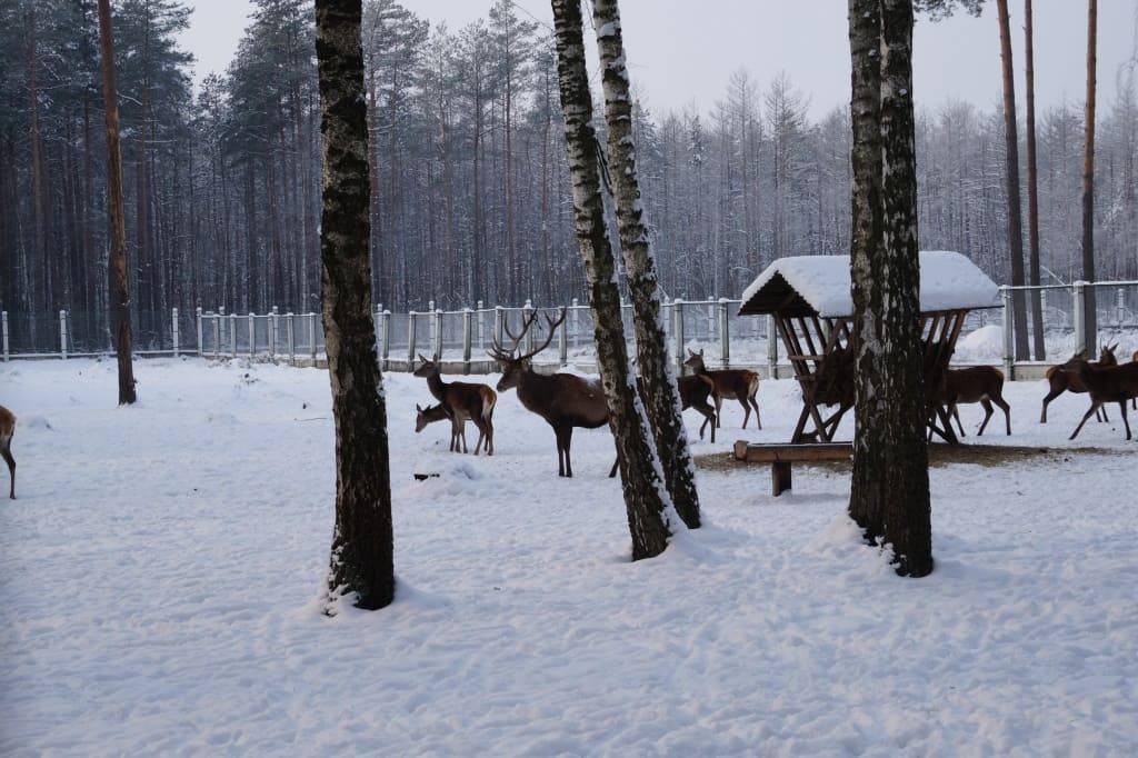 олени Беловежская пуща