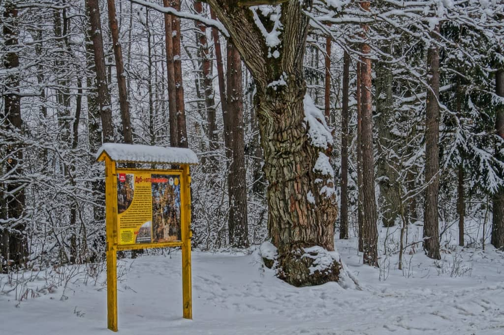 дуб отшельник Беларусь