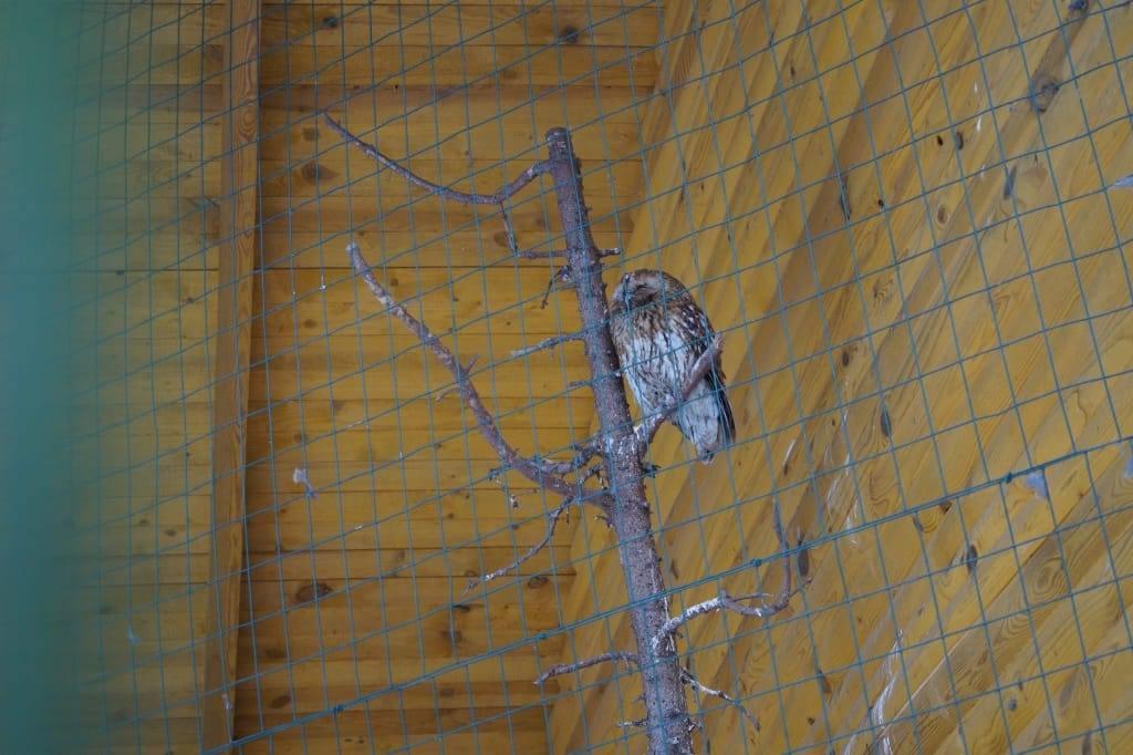 сова в Беловежской пуще