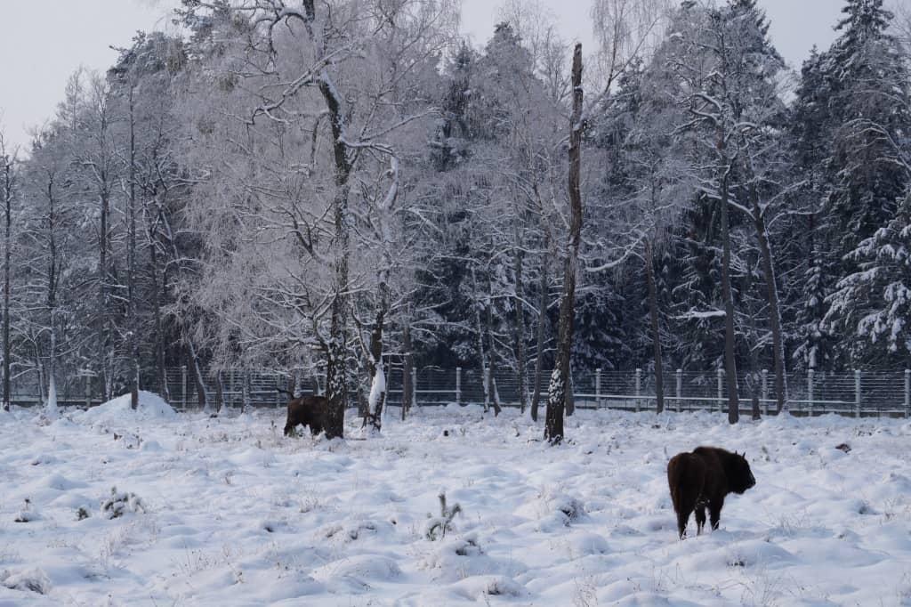 зубры Беларуси