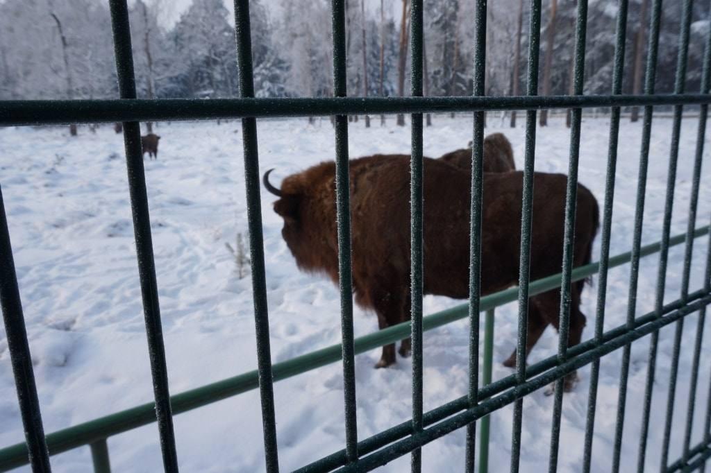 зубры в вольерах Беловежской пущи
