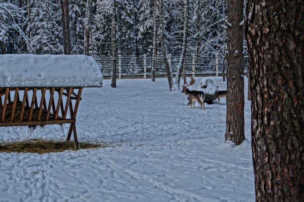 олень в Беловежской пуще