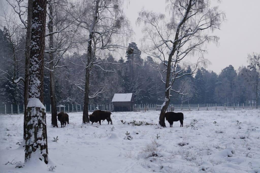 беловежские зубры Беларусь