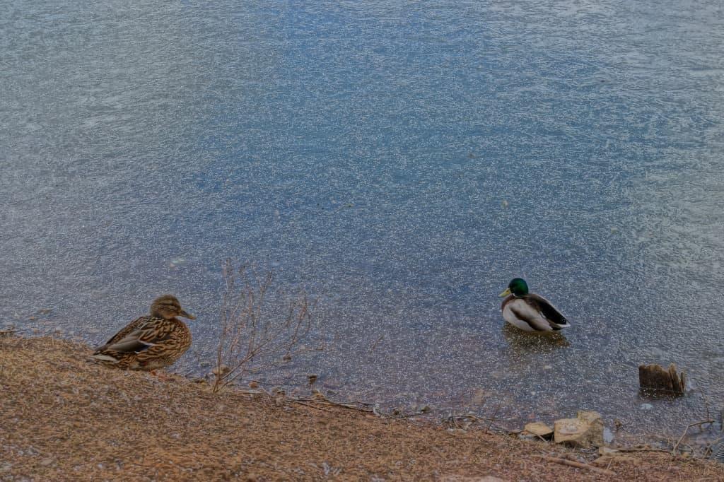 утки у пруда