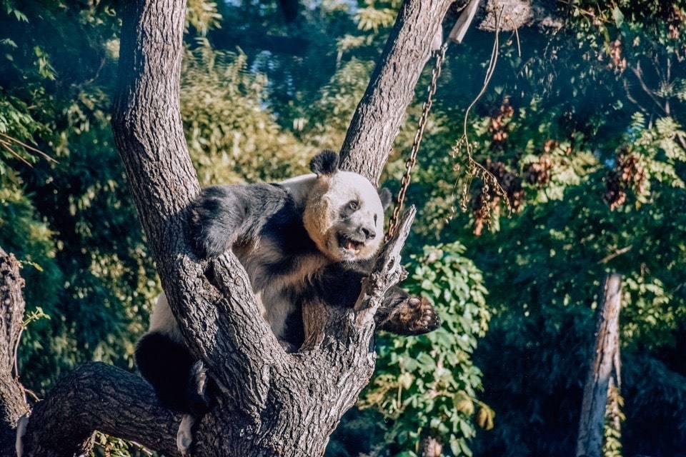 zoopark-dostoprimechatelnosti-pekina