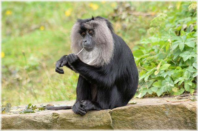 lion-tailed-macaque-216227_640