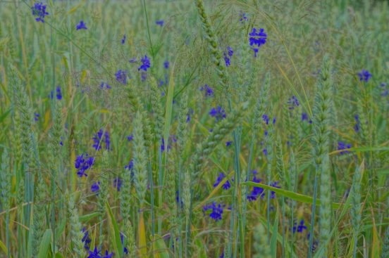 синие цветы любительское фото