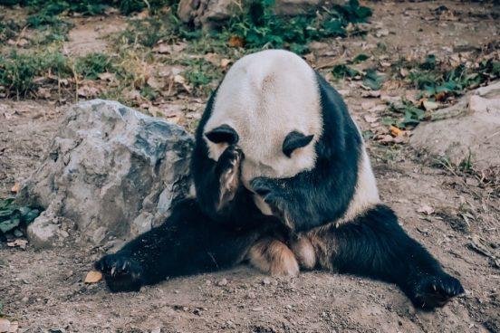 panda-zoopark-pekina