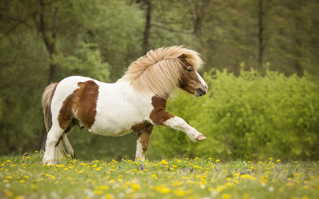 koni-poni